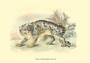 OUNCE or SNOW LEOPARD - Felis Uncia